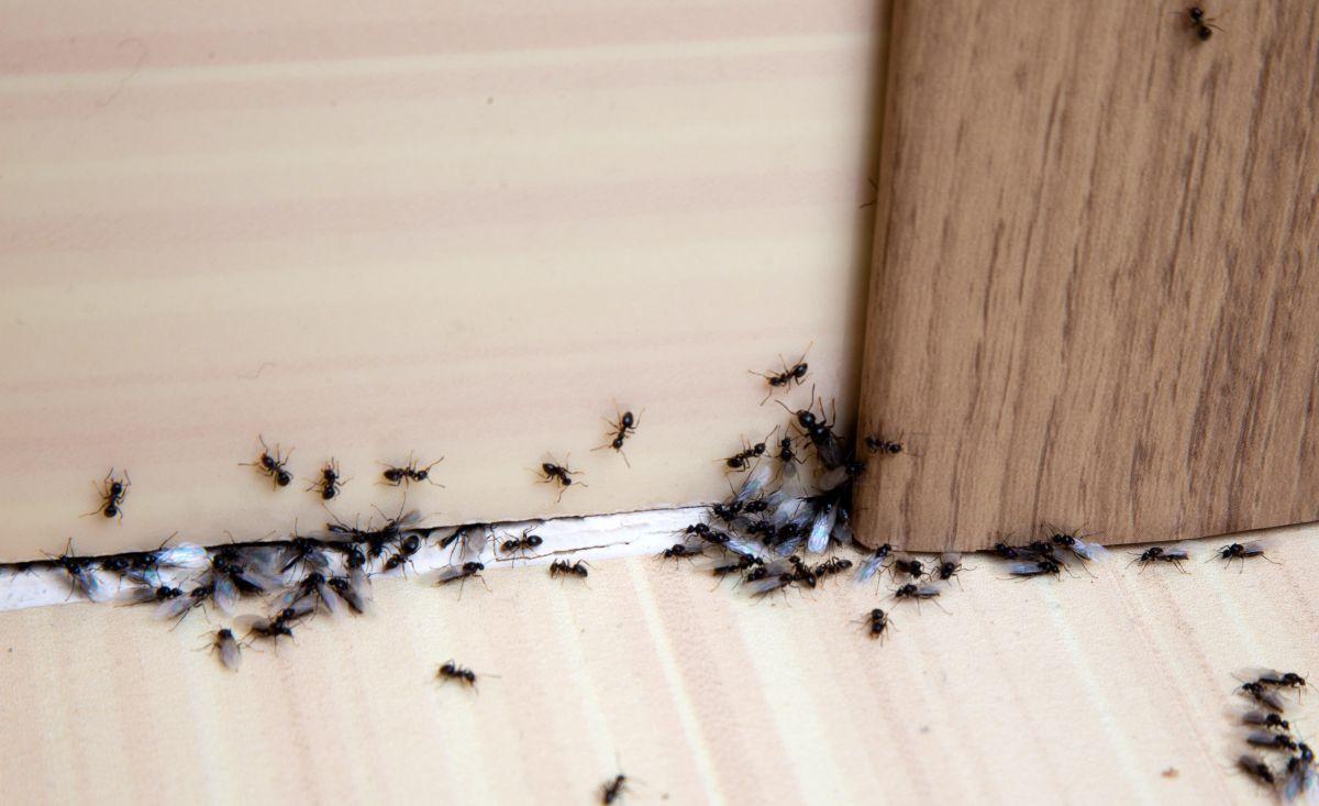 Faire Fuir Les Fourmis les 9 meilleurs pièges pour lutter contre les fourmis - anti